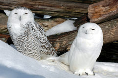 Two snow owls. A couple of snow owl relaxing on a nice winter day Royalty Free Stock Images