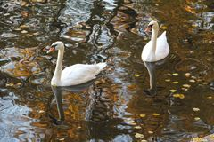 Two white swans in autumn water stock images