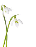 Two snowdrop flowers Royalty Free Stock Photo