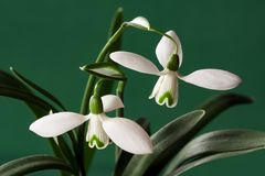 Two snowdrop flowers Royalty Free Stock Photography