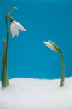 Two snowdrops. Macro photo of two beautiful snowdrops growing in snow royalty free stock photography