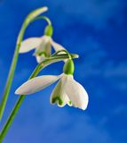 Two snowdrops Royalty Free Stock Images
