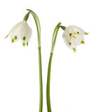 Two snowdrops flowers Royalty Free Stock Photos
