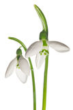 Two snowdrops isolated Royalty Free Stock Images