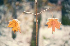 Two Snowy Maple Leaves on Twigs in Balance - Retro Royalty Free Stock Photography