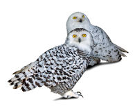 Two snowy Owls Royalty Free Stock Photography