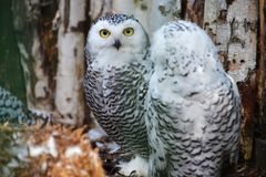 Two snowy owls in the woods Royalty Free Stock Images