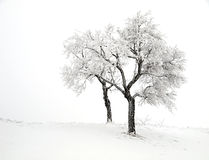 Two snowy trees. In a winter landscape Royalty Free Stock Photo