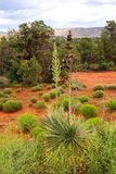 Two soaptree plants in Sedona Stock Image