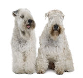 Two Soft-coated Wheaten Terriers, sitting. Two Soft-coated Wheaten Terriers, 1 year old, sitting in front of white background Stock Photos