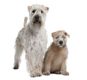 Two Soft-Coated Wheaten Terriers, standing. Two Soft-Coated Wheaten Terriers, 1 year old and 11 years old, standing in front of white background Royalty Free Stock Images