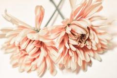 Two soft orange November birth flower. Soft orange spray chrysanthemums is the birth flower. November birth flower is the magical and vibrant chrysanthemum royalty free stock photos