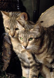 Two sokoke cats Royalty Free Stock Images