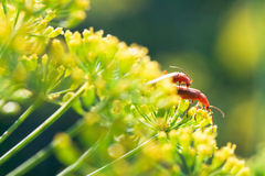 Two soldier beetles on yellow dill flowers Stock Images