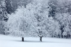 Two solitary tree in winter, snowy landscape with snow and fog, white forest in the backgroud Royalty Free Stock Photography