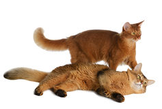 Two somali cats isolated on white background Royalty Free Stock Photos