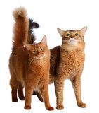 Two somali cats isolated on white background Stock Images