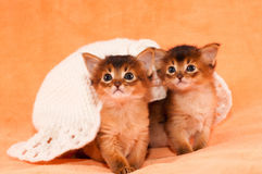 Two somali kittens under white hat. Looking at camera Stock Photography