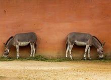 Two Somali wild donkeys near the wall in zoo Royalty Free Stock Image