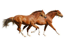 Two sorrel foals gallop Stock Photography
