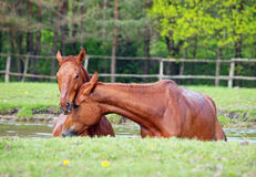 Two sorrel horse  bath in a lake Stock Photography