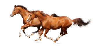 Two sorrel horses. Sorrel trakehner stallion isolated on white Stock Photos