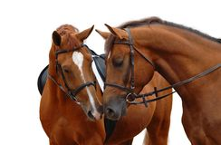 Two sorrel horses. Isolated on white royalty free stock photo