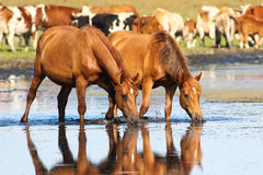Two sorrel horses drinking water on watering place. Two wild sorrel horses drinking water Stock Photo