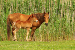 Two sorrel horses, foal and mare. Two sorrel horses, foal and mother on the meadow royalty free stock images