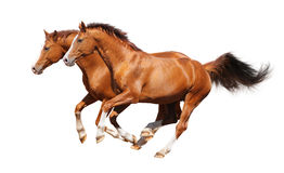 Two sorrel horses gallop. Sorrel trakehner stallion isolated on white Royalty Free Stock Photography
