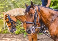 Two sorrel horses. Side view head shot of a bay stallions. Portrait of a thoroughbred bridled horses, blur green trees background, selective focus. Equestrian stock photo