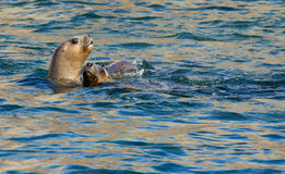 Two South American Sea Lions Stock Photography