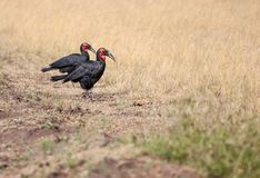 Two Southern Ground Hornbills walking in the savannah. National park Masai Mara in Kenya stock photo