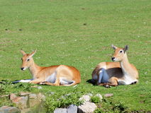 Two Southern Lechwe antelope Royalty Free Stock Photo