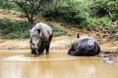 Two southern white rhinoceros in the water Kruger National Park royalty free stock images