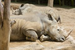 A pair of southern white rhinoceroses resting together stock photography
