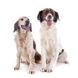 Two spaniels Royalty Free Stock Photo