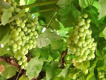Two Spanish ripe green grape clusters hanging on a branch royalty free stock photo