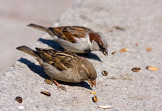 Two sparrow eats sunflower seeds Royalty Free Stock Images