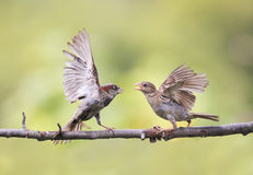 Two Sparrow fight in the spring on a branch. Two funny Sparrow fight in the spring on a branch stock photos