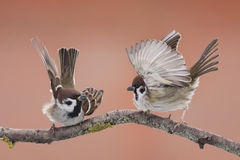 Two Sparrow with wings Stock Image