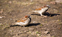 Two sparrows Royalty Free Stock Photos