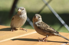 Two sparrows. On the table Royalty Free Stock Photography