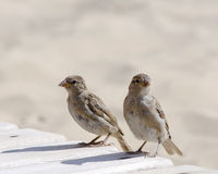 Two sparrows on the beach Royalty Free Stock Photo