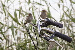Two sparrows on a bike Stock Photos