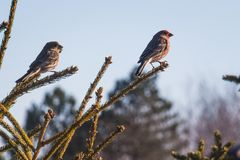 Two Sparrows on Branch Close-up Photography Stock Photos