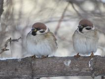 Two sparrows on a branch. Close up. Tree. Frost royalty free stock image