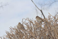Two Sparrows in Bush Royalty Free Stock Photos