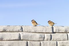 Two sparrows chat in winter on the wall Stock Images