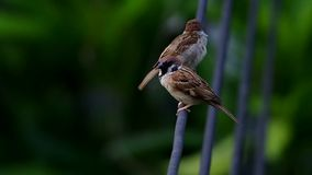 Two sparrows on electricity wire. Two sparrows are resting on the electricity wire stock video
